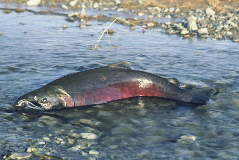 Comprar Salmon rosado chileno