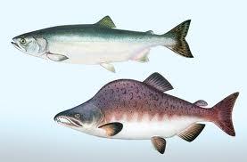 Comprar Salmon rosado