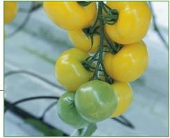 Comprar Semillas de Tomates en racimo