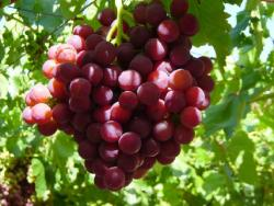Uvas Flame Seedless