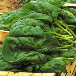 Buy Seeds of spinach