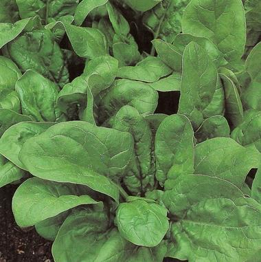 Comprar Semillas de Espinaca Virofaly