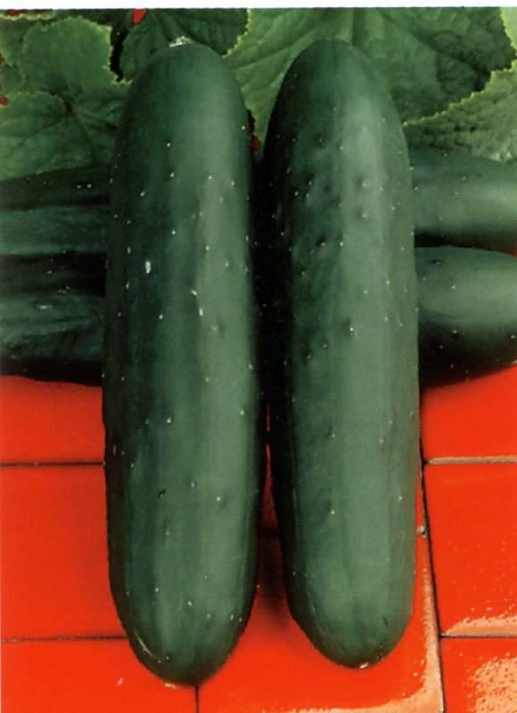 Comprar Semilla de Pepino Hibrido