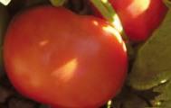 Comprar Semilla de Tomates Determinados