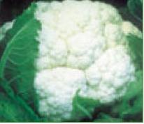 Comprar Semilla de Coliflores variedad Serrano