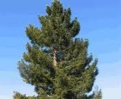 Aceite de pino