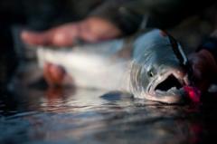 Salmon de  plata