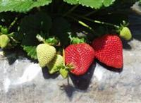 Frutillas Monterey