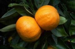 Mandarinas Gold Nugget