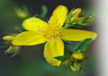 Hierba de San Juan (Hypericum perforatum)
