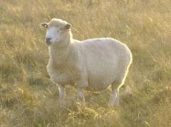 Carne de cabra Romney Marsh