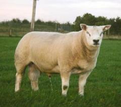 Carne de carnero Texel