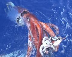 Productos de mar: Venta de Calamar gigante