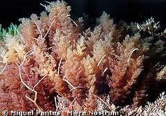 Algas marinas, Algas rojas