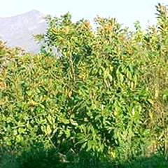Magnolios Planta