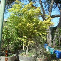 Acer Japónico Planta