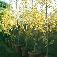 Gingkos Biloba Planta