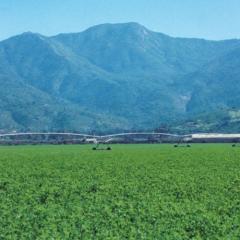 Alfalfa Abundance