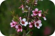 Leptospermum Rosado