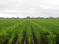 Semillas: Semillas de maiz