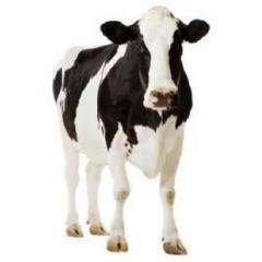 Nutrición Animal Bovinos