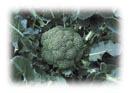Semillas Brócoli