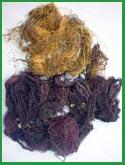 Gracilaria Chilensis seca