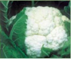 Semillas de Coliflores