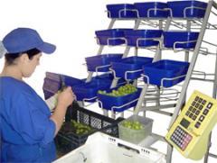 Proceso de embalaje de peso fijo en uva de mesa