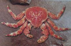 Chilean Snow Crab - Centollón