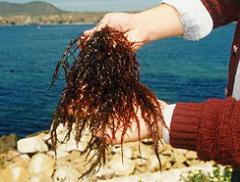 Algas Chicorea de Mar