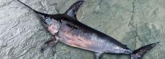 Sword Fish (Xiphias gladius)