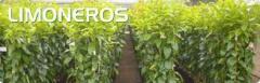 Plantas de Limoneros