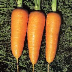 Semilla de Zanahoria Chantenay Red Cored