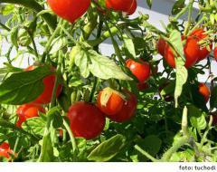 Los tomates cherry