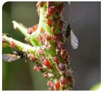 Insecticida-acaricida Rotenona 50 WP