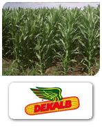 Semillas de maíz DK 575