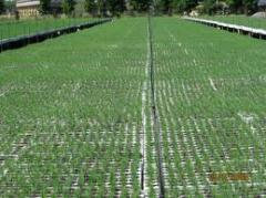Plantones de Eucalyptus