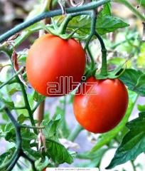 Seeds of tomatoes