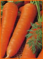 Semilla de Zanahoria Borec