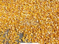 Las semillas de cultivos extensivos