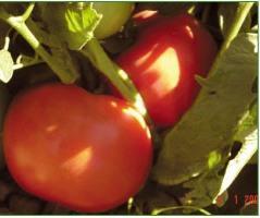Semillas de Tomates Madelein