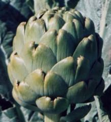 Semillas Alcachofa