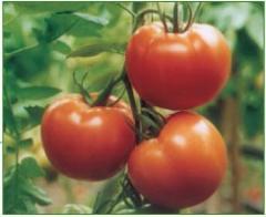 Semillas de Tomates Naomi