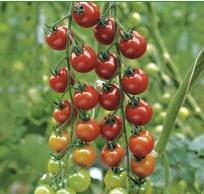 Semillas de Tomate Salome