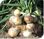 Semilla de Cebolla híbrida de Día corto