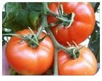 Semilla de Tomate Brillante
