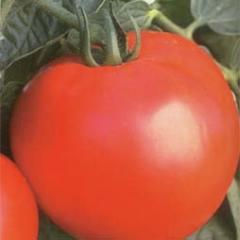 Semilla de variedad de tomate determinado
