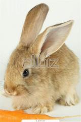 Conejo Petil