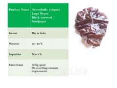 Black seaweed sarcothalia crispata, Luga Negra